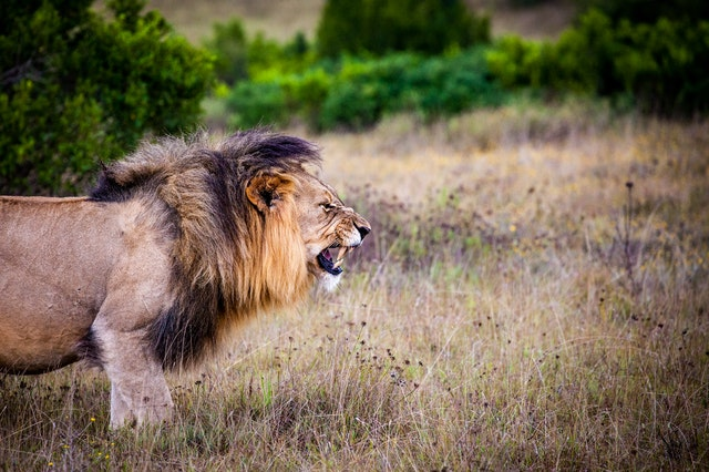 lion predator big cat cat 162093 -  SEO